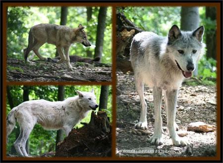 Wölfe - auch sie füllen die Schlagzeilen und die Anzahl der Rudel wird heftig diskutiert