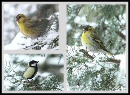Vögel im Schnee - Zeisig- Kohlmeise