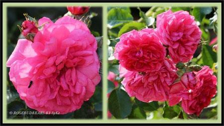 Rose Stadtpark Hannover