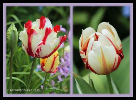Fluwels 'Flaming Parrot' blüht anfangs kräftig gelb und wird dann weißer - Tulpe 'World Expression' ist nach Jahren der Ruhe wieder aufgetaucht, elegant weiß mit den roten Streifen
