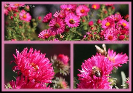 Bienen lieben Astern