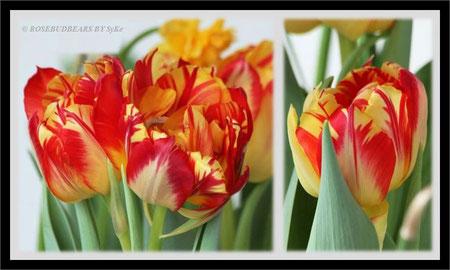 eine Tulpensorte namens Volta - die ersten Blüten