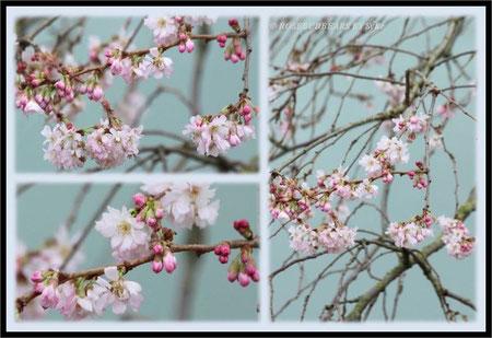 japanische Zierkirsche Blüten