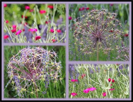 rote Lichtnelken (lycnis coronaria) und Lavendel umrahmen das Allium