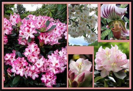"""Rhododendron, Zierapfel und Frauenschuh - rechts unten """"Gomer Waterer"""""""