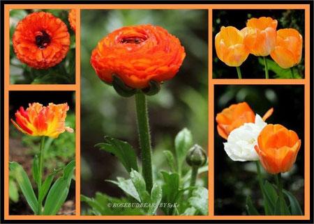 Ranunkeln und Tulpen