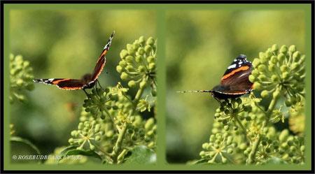 Efeublüten Schmetterling Admiral