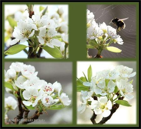 die Hummeln lieben Birnbaumblüten