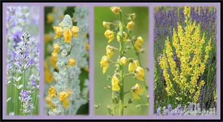 Königskerzen - es gibt verschiedene Sorten, nicht nur in gelb