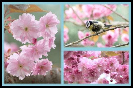 Zierkirsche Blüte