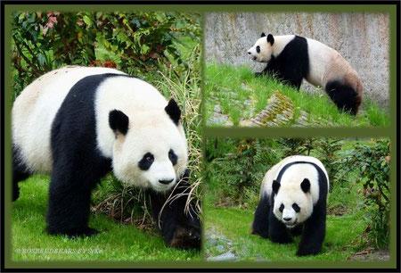 Panda Zoo Berlin