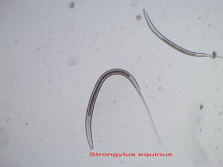 Larve von Strongyliden im dritten, für Pferde infektiösen Stadium nach einer Larvenanzucht. Unten Bildmitte Larve grosse Strongyliden, oben rechts Larve der kleinen Strongyliden.