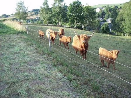 Urlaub Erzgebirge, Bauernhof, Schottisch Highland Rinder