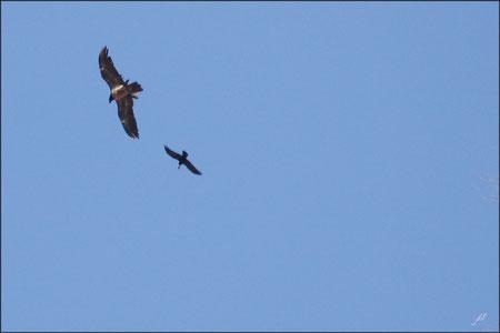 Observation Gypaète barbu : Tentative de parasitage sur un grand Corbeau ! © JLS