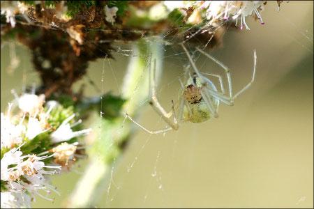 Araignée courge © JLS