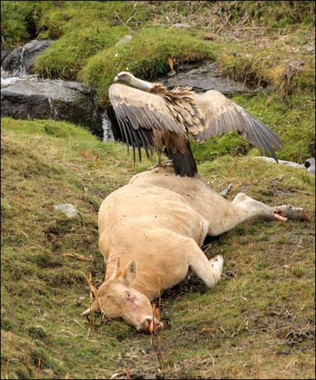 Vautours fauves et vache morte © JLS