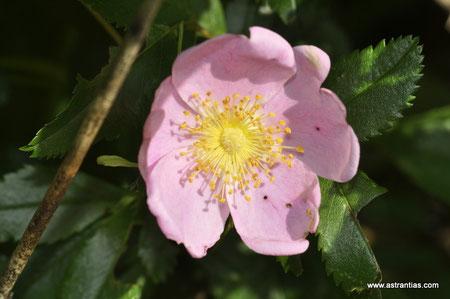 Rosa carolina-Rosa carolina var. glandulosa - Rosa carolina var.grandiflora - Rosa carolina var. obovata - Rosa serrulata - Rosa subserrulata - Rosa texarkana - Wildrosen-Heckensträucher - Wildrose