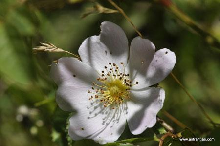 Rosa tomentosa - Filz-Rose - Rosier tomenteux - Rosa tomentosa - Wildrosen - Wildsträucher - Heckensträucher - Artenvielfalt - Ökologie - Biodiversität - Wildrose