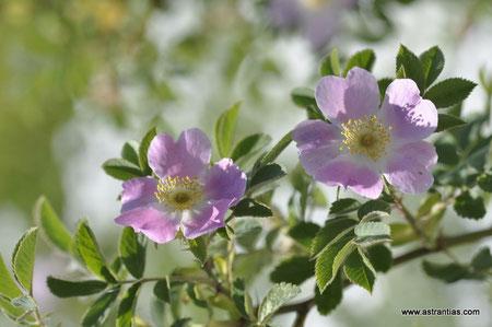 Rosa sherardii - Rosa omissa - Samt-Rose - Sherards-Rose - Rosier de Sherard - Rosa di Sherard - Wildrosen - Wildsträucher - Heckensträucher - Artenvielfalt - Ökologie - Biodiversität - Wildrose