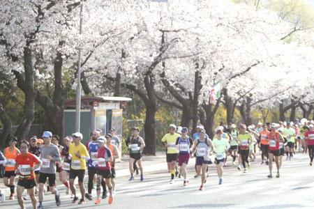満開の桜の下を駆け抜けるランナーたち