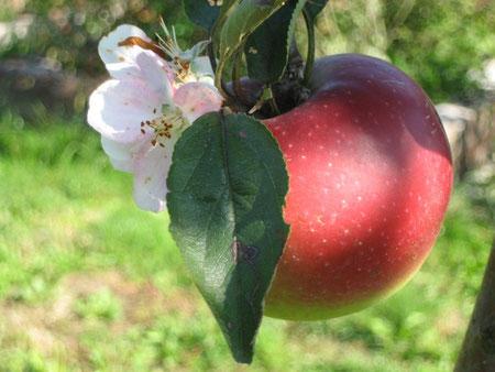 Apfel mit Blüte