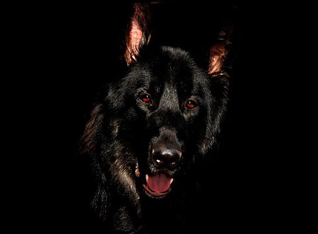 Conséquences de la consanguinité du chien de race