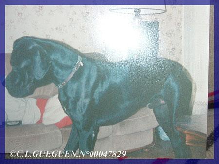 Mon adorable EMPEREUR...DCD à Pâques en 1997, il a vécu presque 9 ans, c'est un record pour un Dogue Allemand!
