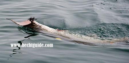 Große Perlmuttspangen sind immer wieder hervorragende Köder zum Schleppfischen auf Hecht