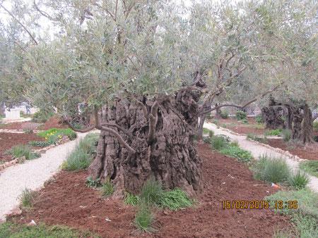 Древняя маслина в Гефсиманском саду