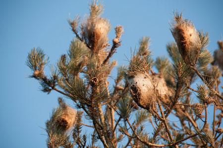 procesionaria del pino, nidos
