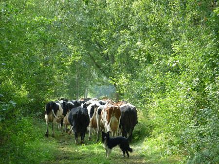 Bordercollie 'Jens' holt die Kühe von der Weide