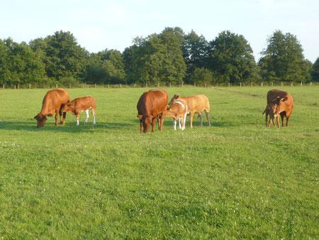 Mutterkühe mit Kälbern auf der Weide