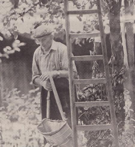 Harrie Geraets (78) plukt het fruit, waar broer Paul niet meer bijkan.