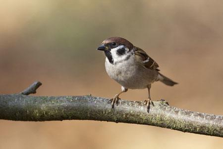 Feldsperling (Passer montanus) / Eurasian Tree Sparrow