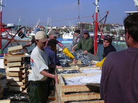 Débarquement de l'anchois