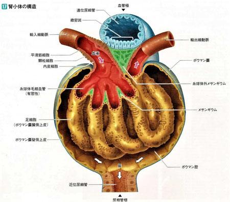 腎小体の構造
