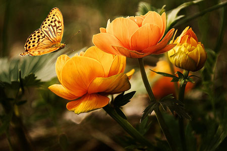 Blütenknospen die sich entfalten, Schmetterling, befruchtend