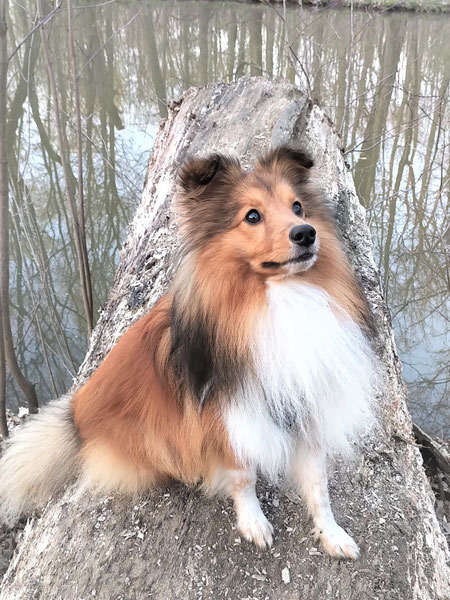 Indian Sammy of Atocha - ein Traumsheltie in zobel-weiß