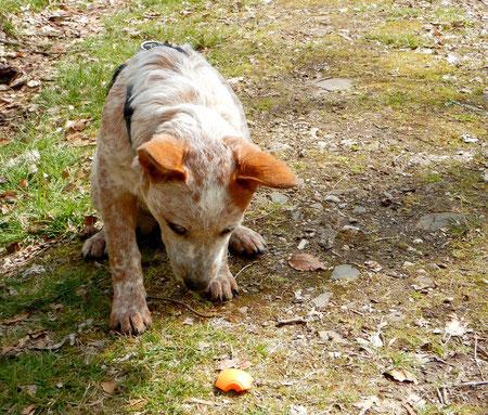 Artenspürhund in Ausbildung Foxy übt die Anzeige in natürlichem Habitat. Foto: Wiebke Harms