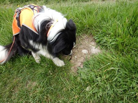 Artenspürhund Zammy zeigt einen wandernden Teichmolch an. Foto: A. Grimm-Seyfarth