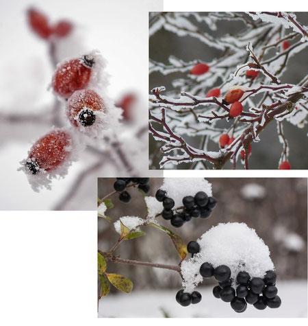 Bild: Hagebutten, Beeren im Winter, Schneedecke, Früchte