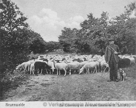 Dieses Foto aus dem Jahr 1910 (wiederum eine Grußkarte des heute nicht mehr existierenden Neuenwalder Verlages Aug. Neuhaus) zeigt die letzte in Neuenwalde von Schäfer Jakob Nadolski geführte Schafherde.