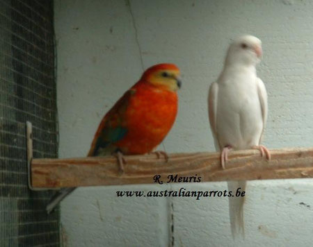 Opaline oranje / lutino x Albino/ oranje
