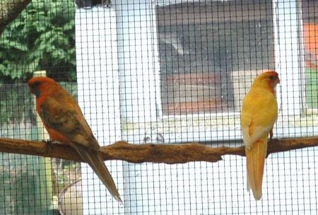 Oranje pastel olijf /geel x Pastel geel/blauw.  Jonge vogels