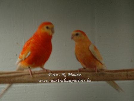 Lutino opaline oranje