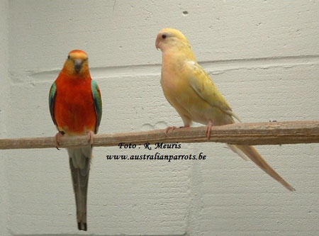 Opaline oranje split bont-ino x Cinnamon bont split oranje
