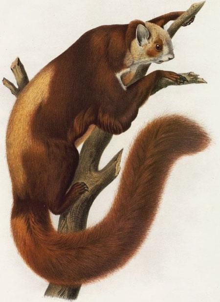Pteromys alborufus, A. M. E. Écureuil volant adulte provenant des montagnes méridionales de la principauté de Moupine, et faisant partie des collections formées par M. l'abbé A. David.