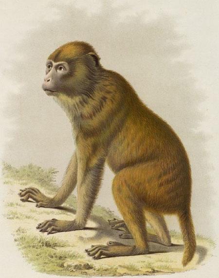 Macacus Tcheliensis, A. M. E. Le singe jaune de Pékin. Femelle presque adulte, provenant de la cordillère de l'est de la province du Tché-ly.
