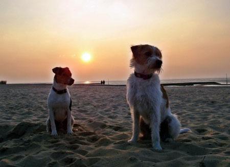 Ein schönes Paar - Dansk Svensk Gardhund und Kromfohrländer