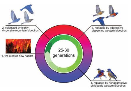 Cycles des espèces de merlebleu successifs dans un habitat post-incendie.